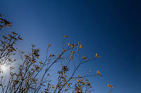 A cluster of yellow Sweet fennel flowers against a clear blue sky with the late afternoon sun shinning through.