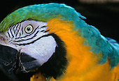 Itaparica, Brazil. Blue and yellow macaw in profile; eye, cheek, beak.