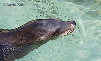 0406-1010  California Sea Lion Swimming, Zalophus californianus  © David Kuhn/Dwight Kuhn Photography.