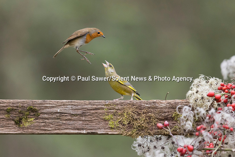 "Pictured: A robin and a greenfinch do battle on a fence. <br /> <br /> The robin flew in and began attacking the greenfinch but it refused to budge without a fight. However, after a few kicks to the head the finch conceded defeat, and the robin was left with the spoils of nearby berries. <br /> <br /> Wildlife photographer Paul Sawer, who took the pictures in Saxmundham, Suffolk, said: ""The male greenfinch landed on the fence to feed on the berries. The robin soon appeared, and the pair faced each other. <br /> <br /> Please byline: Paul Sawer/Solent News<br /> <br /> © Paul Sawer/Solent News & Photo Agency<br /> UK +44 (0) 2380 458800"