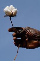 "Afrika Mali Helvetas Biobaumwolle Projekt - Baumwolle Kapsel Baumwollkapsel | .Western Africa Mali - organic cotton boll formation .| [ copyright (c) Joerg Boethling / agenda , Veroeffentlichung nur gegen Honorar und Belegexemplar an / publication only with royalties and copy to:  agenda PG   Rothestr. 66   Germany D-22765 Hamburg   ph. ++49 40 391 907 14   e-mail: boethling@agenda-fototext.de   www.agenda-fototext.de   Bank: Hamburger Sparkasse  BLZ 200 505 50  Kto. 1281 120 178   IBAN: DE96 2005 0550 1281 1201 78   BIC: ""HASPDEHH"" ,  WEITERE MOTIVE ZU DIESEM THEMA SIND VORHANDEN!! MORE PICTURES ON THIS SUBJECT AVAILABLE!!  ] [#0,26,121#]"