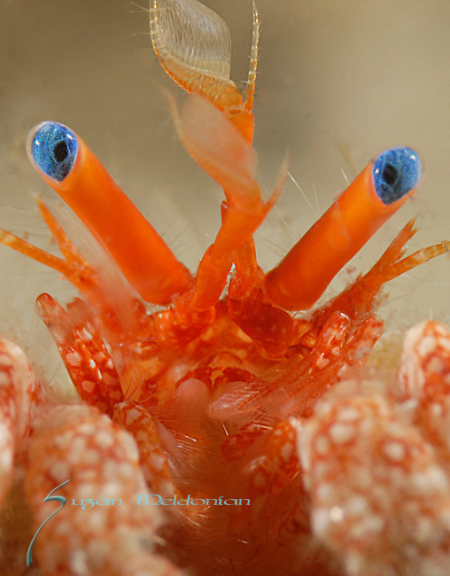 Red Banded Hermit Crab , Red Banded Hermit Crab Close up of eyes , Paguristes erythrops, Underwater Marine life Behavior, Blue Heron Bridge, Lake Worth Inlet, Riviera, Florida, USA, Intra Coastal Waterway, North Atlantic Ocean.3-17-13-885