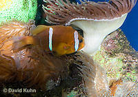 0320-1103  Clark's anemonefish (Yellowtail clownfish), Amphiprion clarkii, with Bulb-tipped Anemone, Entacmaea quadricolor  © David Kuhn/Dwight Kuhn Photography.