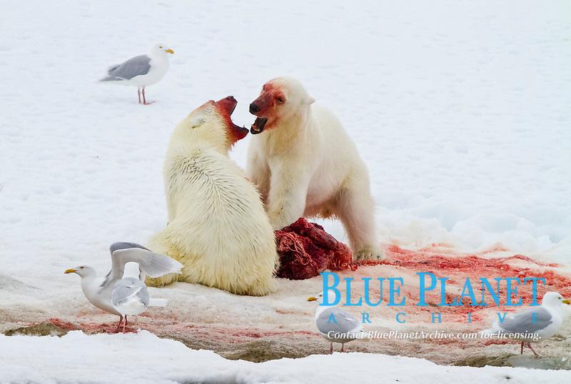 Two young polar bears, Ursus maritimus, disputing feeding rights on a fresh bearded seal kill near Monacobreen Glacier, Spitsbergen in the Svalbard Archipelago, Norway, Atlantic Ocean, polar bear, Ursus maritimus