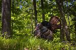 Tom turkey strutting in a northern Wisconsin woodland.