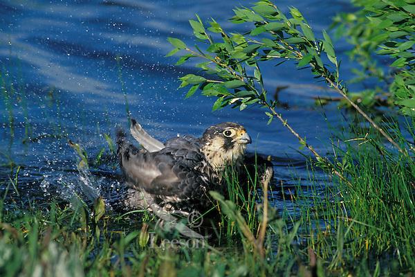 Peregrine Falcon (Falco peregrinus) bathes on edge of pond.  Western U.S.