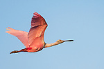 Damon, Texas; a roseate spoonbill flying overhead against a blue sky in late afternoon light