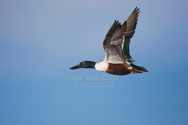 Northern Shoveler (Anas clypeata), male in flight, Bosque del Apache National Wildlife Refuge , New Mexico, USA,
