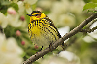 Male Cape May Warbler (Setophaga tigrina) in crab apple tree.  Great Lakes Region.  May.