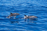 Atlantic Spotted Dolphins (Stenella frontalis) adult Female and calf porpoising. Azores, Atlantic Ocean