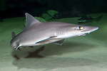 Smooth dogfish swimming 45 degrees to camera