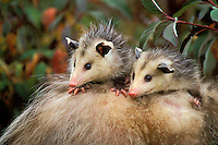 Opossum young on mother's back..Pacific Northwest, North America..Autumn. (Didelphis virginiana)..