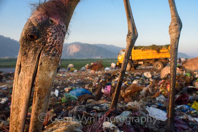 Juvenile Greater Adjutant feeding at Boragaon Landfill. Assam, India.