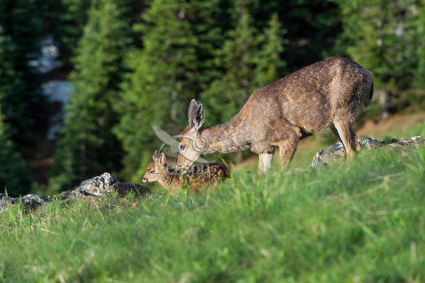 Columbian black-tailed deer (Odocoileus hemionus columbianus) doe nuzzling her young fawn. Pacific Northwest.  Summer.