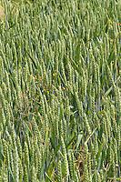Weizen, Saat-Weizen, Saatweizen, Weizenanbau, Weizenfeld, Acker, Triticum aestivum, Wheat