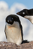 An Adelie Penguin surprises another penguin