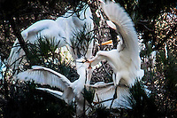 Egrets fighting, one with its bill in the firm grasp of its opponent's bill,  wings flail madly, feet grapple for a foothold among the limbs.  The fight continues until one chooses to fly away.
