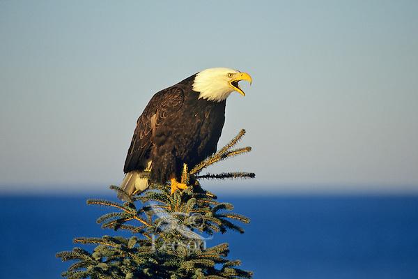 Bald Eagle (Haliaeetus leucocephalus) calling from top of tree.