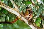 Banded palm civet, Sarawak, Malaysia