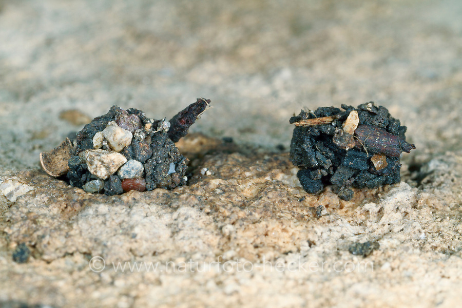 Ameisenjäger, Gespinst, Zodarion italicum, ant-eating spider, Zodariidae, Ameisenjäger