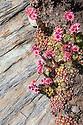 Cobweb Houseleek {Sempervivum arachnoideum subsp. arachnoideum}.Aosta Valley, Monte Rosa Massif, Pennine Alps, Italy. July.