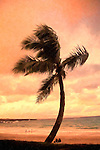 Palm tree on windswept beach in Maui