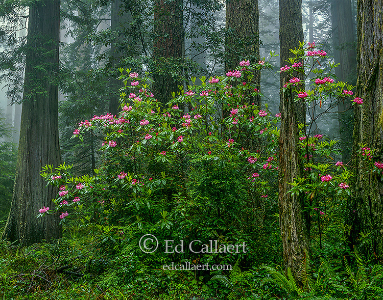 Rhododendron Bloom, Redwood National Park, Humboldt County, California
