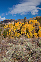With a blue sky and cloud above the gold and green of aspen, conifers and sagebrush adorn a hillside on the eastern side of Sonora Pass in the Sierra Nevada.
