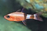 Apogon phenax, Mimic cardinalfish, Roatan