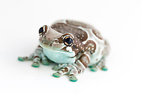 """Amazon milk frog (Trachycephalus resinifictrix) - Wide range from countries including Suriname, Colombia, Ecuador, Peru, Bolivia and Brazil. - Live in the canopies of tropical primary rainforests - """"Local populations are no doubt impacted by forest conversion, clear cutting, selective logging, and human settlement. However, overall this species is not significantly threatened."""" IUCN Red List website"""