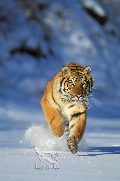 Siberian Tiger (Panthera tigris altaica), Endangered Species.  Winter.