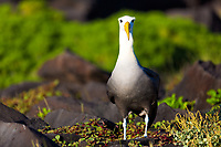 Beautiful waved albatross portrait with green vegetation background, a critically endangered species, nesting on Espanola Island, Galapagos, Ecuador
