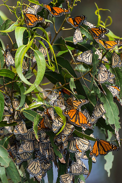 Western Monarch Butterflies (Danaus plexippus) in small, wintering cluster; coastal California.  Many have their wings out catching the sun to warm up.  Monarch butterflies cannot fly if their body temperature is less than 86 degrees.  We generally assume that monarchs can fly if it is above 60 degrees F, and above 50 degrees if it is sunny. The sun allows them to warm their flight muscles enough to fly.