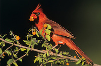 Northern Cardinal, Cardinalis cardinalis, male eating berries of Desert Hackberry (Celtis pallida) , Willacy County, Rio Grande Valley, Texas, USA