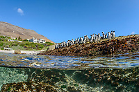 African penguin, Spheniscus demersus,  adults, Boulders Beach, False Bay, Simons Town, South Africa
