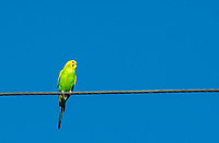 An escaped pet Budgerigar, Melopsittacus undulatus, perches on a wire in Berkeley, California