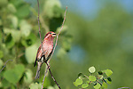 Male purple finch (Carpodacus purpureus) singing