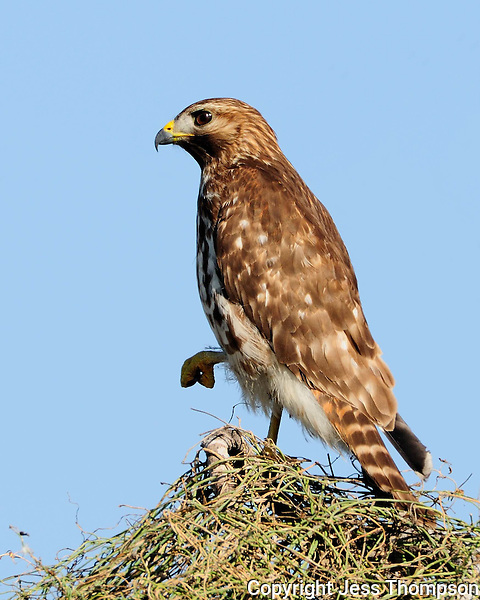 Red-shouldered Hawk, Choke Canyon State Park, TX