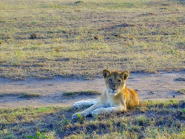 Juvenile Lion at Sunrise, Maasai Mara