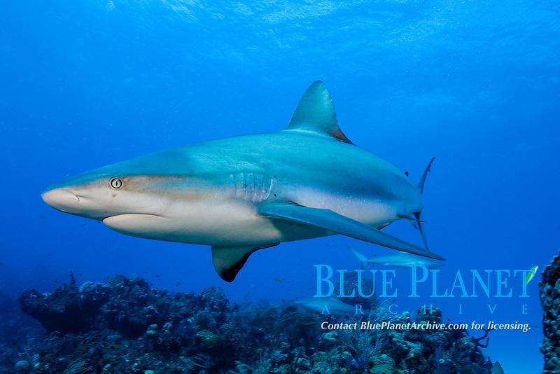 Caribbean reef sharks, Carcharinus perezii, Bahamas (W. Atlantic) (do)