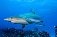 Caribbean reef sharks, Carcharinus perezii, Bahamas (W. Atlantic) (do)