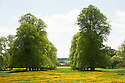 Avenue of trees in field of buttercups, Rousham House and Garden.