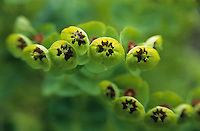 Sun Spurge ( Euphorbia  ) Closeup soft focus of green flower petals.
