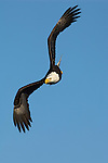 A bald eagle in flight at Homer, Alaska.
