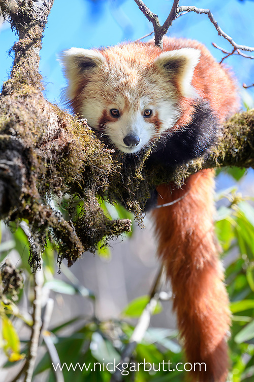Young red panda (Ailurus fulgens) (western subspecies A. fulgens fulgens) (sometimes lesser panda, red bear-cat, red cat-bear) resting in temerate forest understorey. Mid montane forest, Himalayan foothills, Singalila National Park, India / Nepal Border.