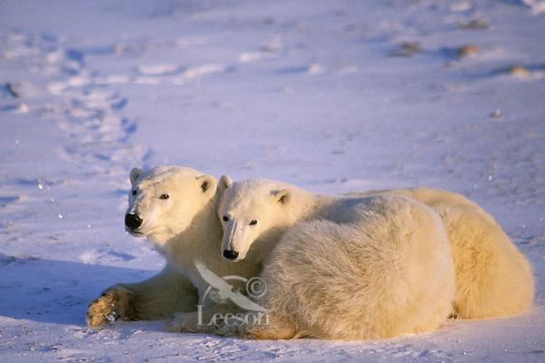 Polar bear mother with yearling cub.  (Ursus maritimus)