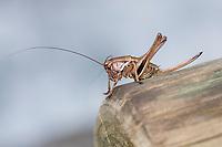 Alpen-Strauchschrecke, Alpenstrauchschrecke, Weibchen, Nymphe, Larve, Pholidoptera aptera, Thamnotrizon apterus, Alpine dark bushcricket, alpine dark bush-cricket, female, La decticelle aptère