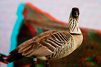 "3D image of endemic Hawaiian goose or "" nene "" Branta sandvicensis ( endangered ) Big Island of Hawaii"