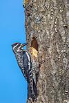 Female yellow-bellied sapsucker bringing food to her nestlings.