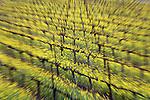 Mustard Fields of Napa Valley, California